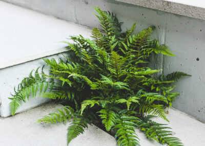 fern planted into grey patio tiles in contemporary garden