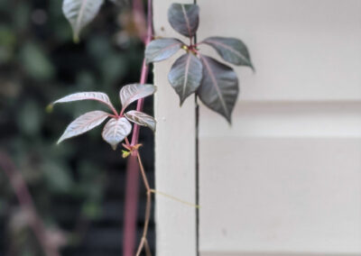 climbing plant growing around side of the house