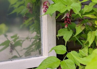 climbing plants growing around window